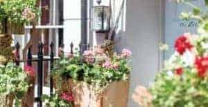 Garden Centre Retail Pelargoniums