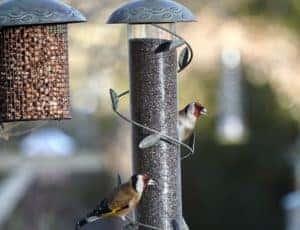 Peckish wild birds